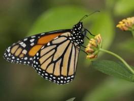 蝴蝶是害虫还是益虫?为什么?生物老师告诉你答案