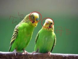 虎皮鹦鹉怎么区分公母,图文解说,包涵全部成长周期图片!必看!